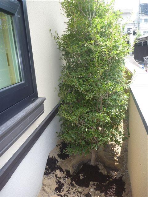 ドウダツツジの植樹