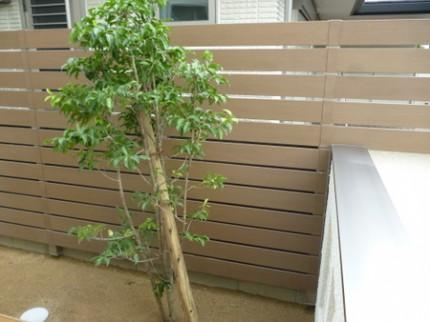 常緑樹のソヨゴ